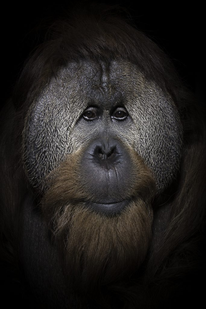 "I used a Profoto monolight with a grid to photograph ""Azy"" at the Simon Skjodt International Orangutan Center in Indianapolis, Indiana, as part of my portrait/cognitive behavior project on these fascinating primates."
