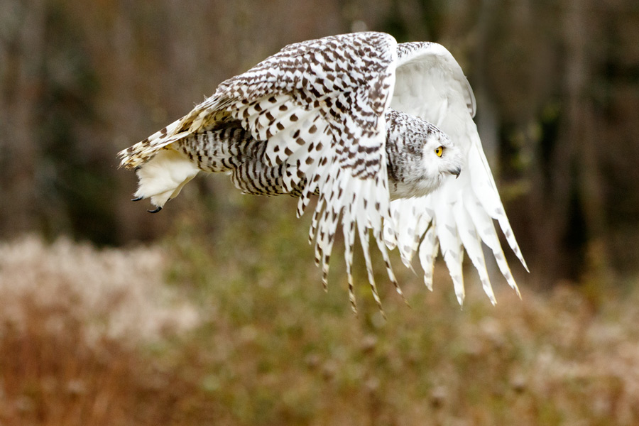 """Snowy Owl in Flight"" by Nelson Harrison"