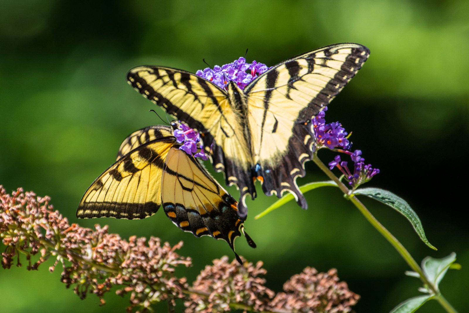 """Swallowtails Pollinating"" by glennbush"