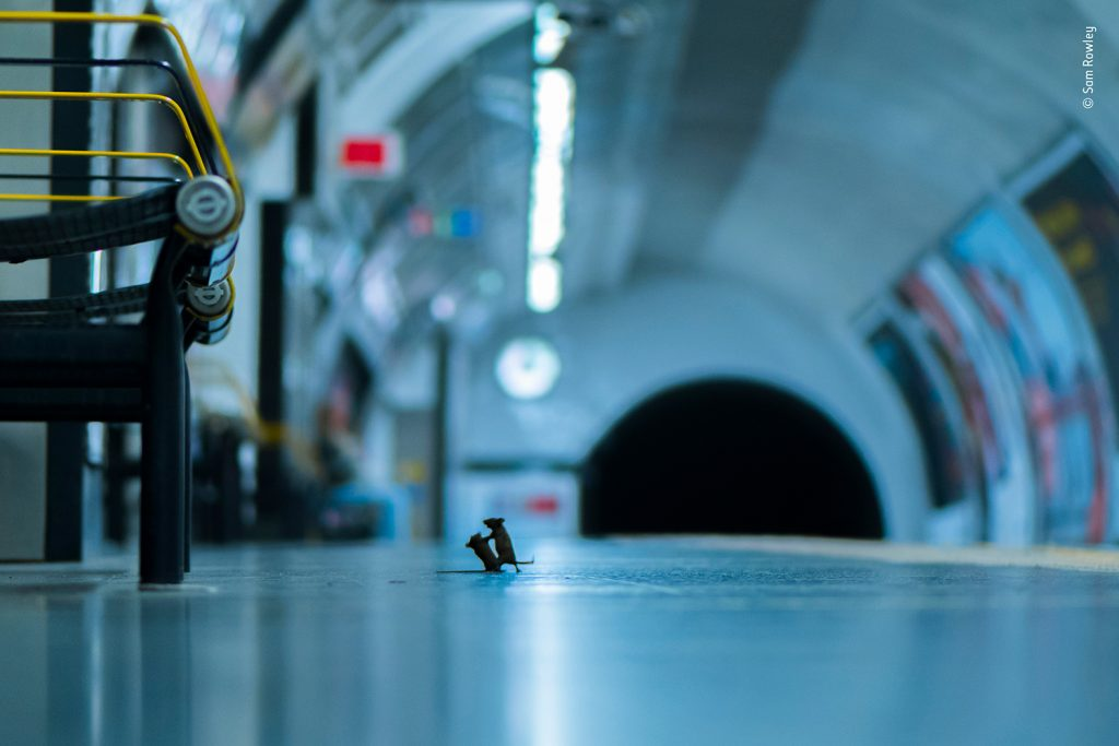 Station Squabble: The Story Behind This Incredible Photo of Two Mice Fighting