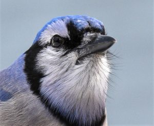 Blue Jay Whiskers
