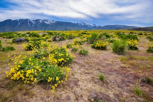 Yellow BrittleBush and snowy mountain landscape