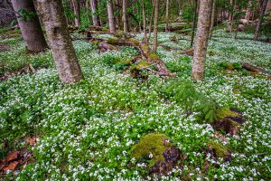 The Glory of Spring in the Great Smoky Mountain