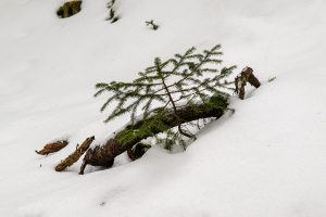 A tree that puts its face out in the heavy snow