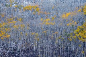 Aspen tree that left only color