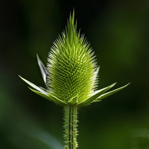 Thistles Should Whistle