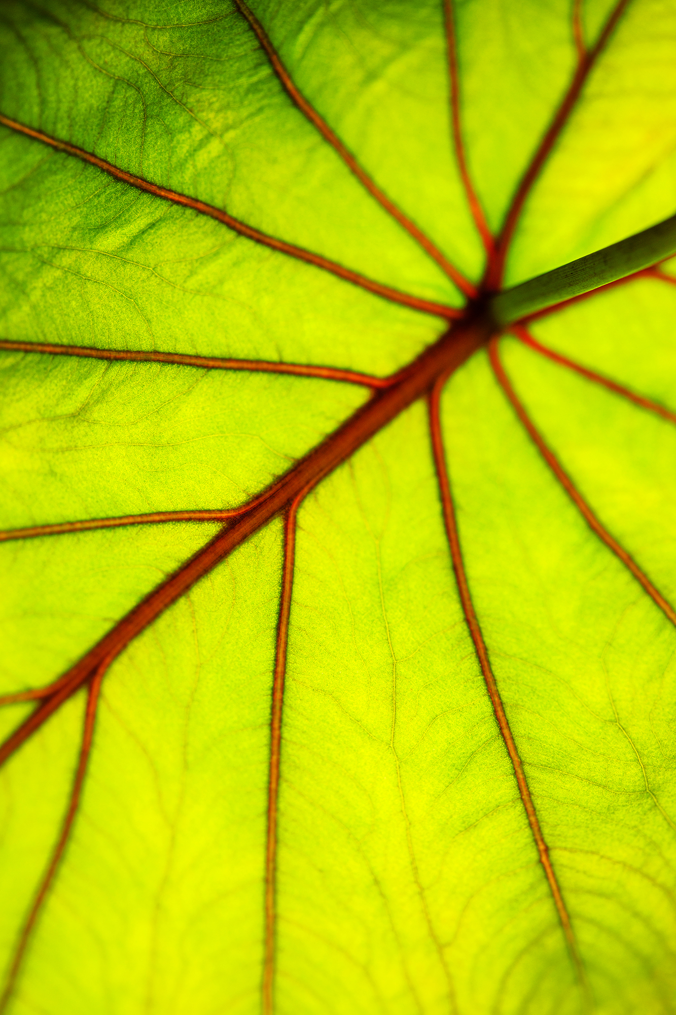 A beautiful world of good in taro leaves
