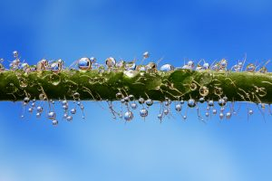 Droplets of water rolling in the stem of poppies