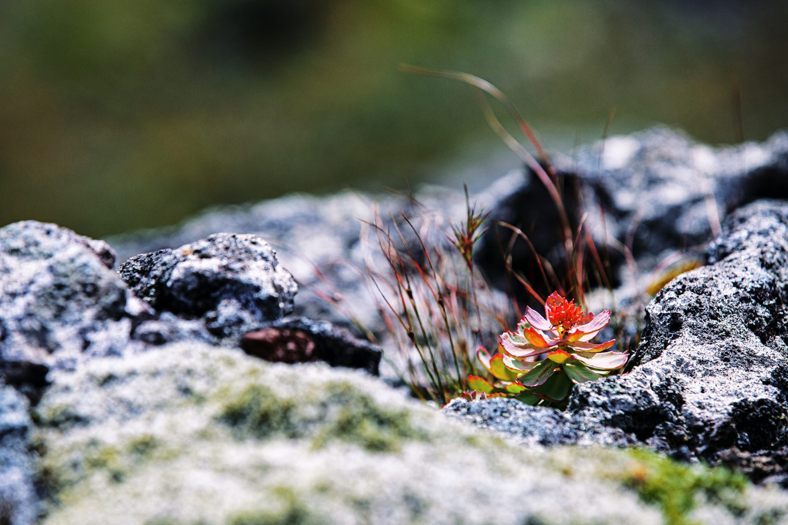 Plants bloom where the volcano has passed