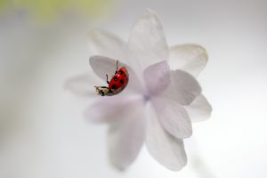 A ballet composition in which ladybugs dance