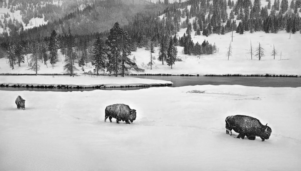 Bison follow the lead in Yellowstone National Park.