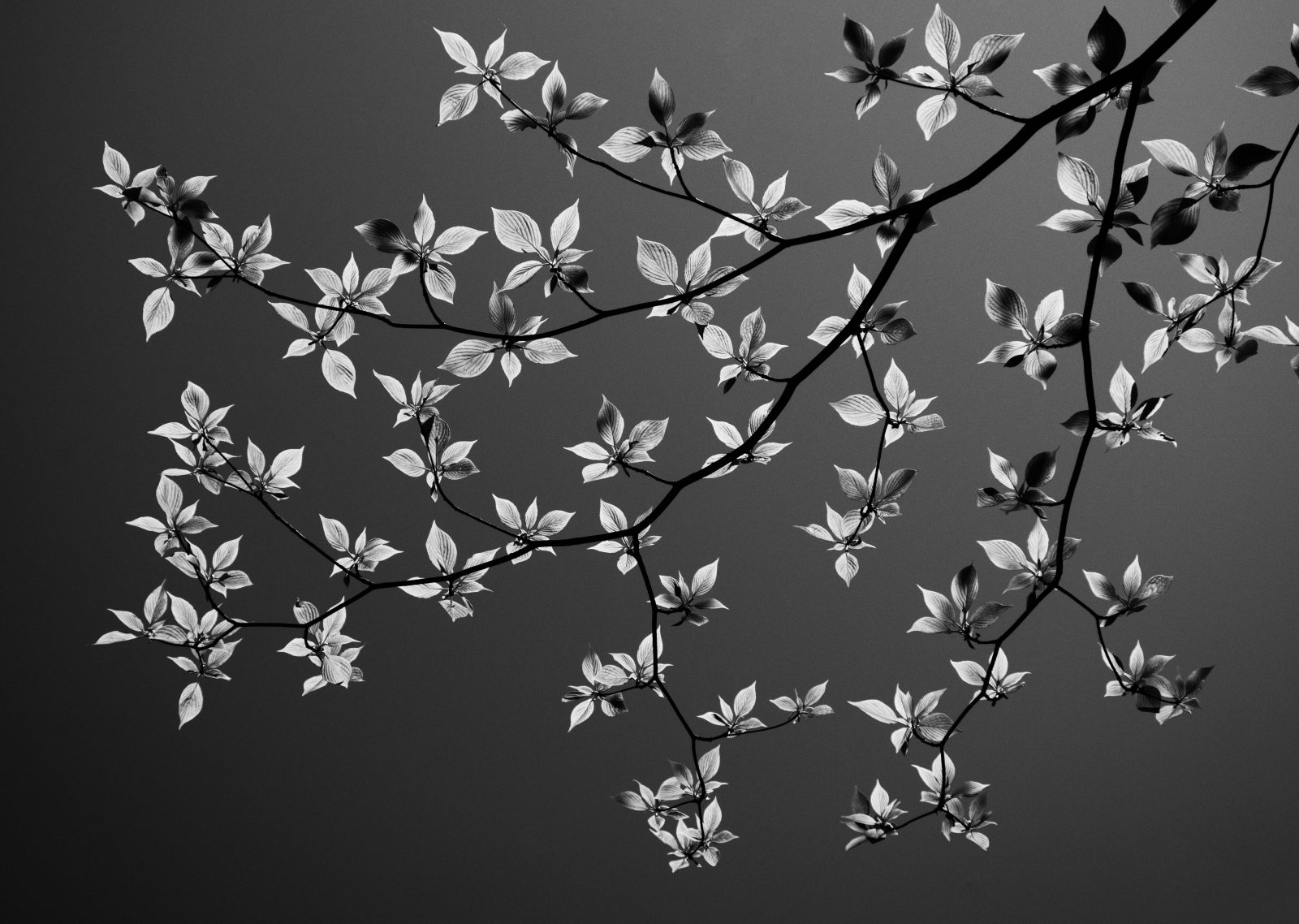 Backlit Giant Dogwood
