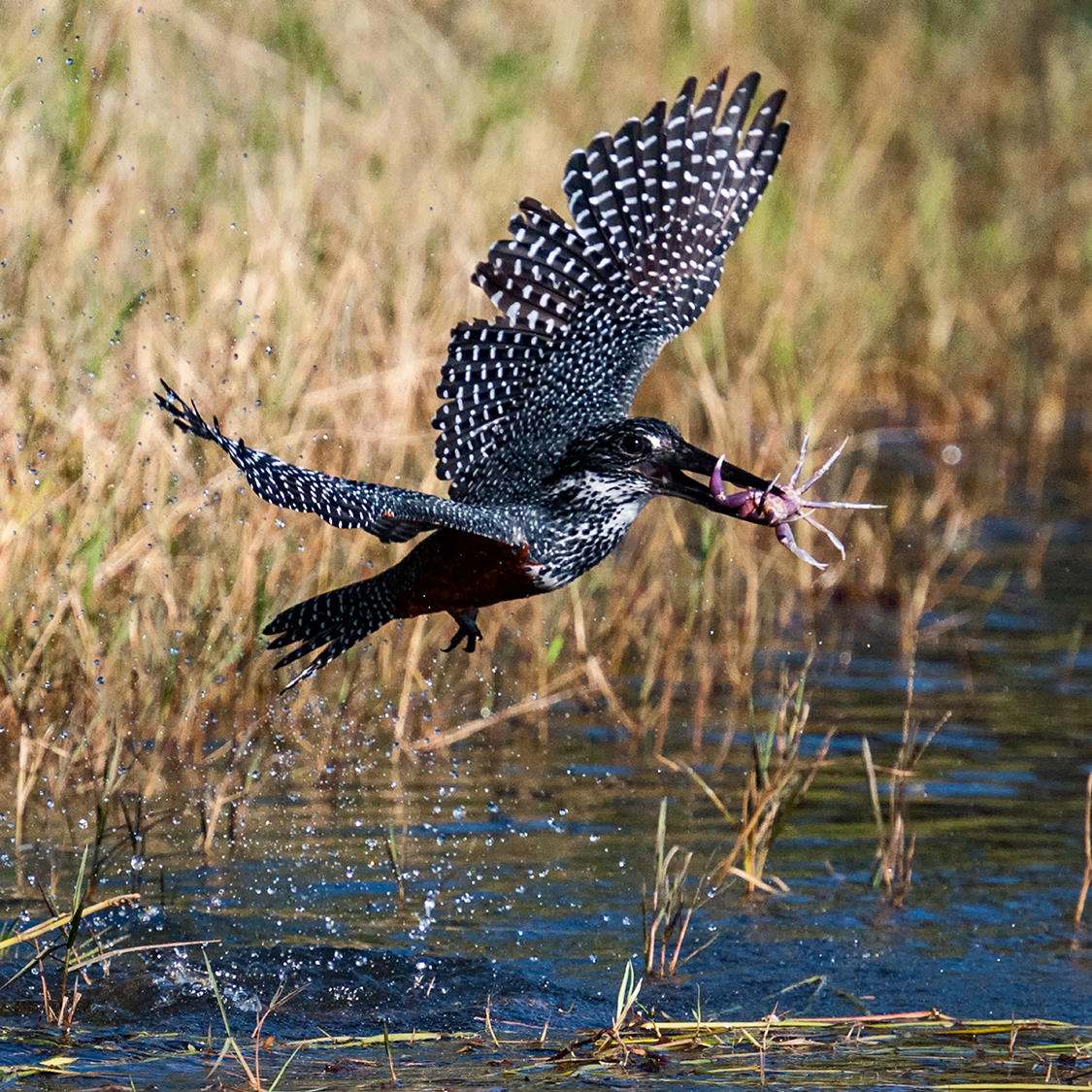 Giant Kingfisher with Crab