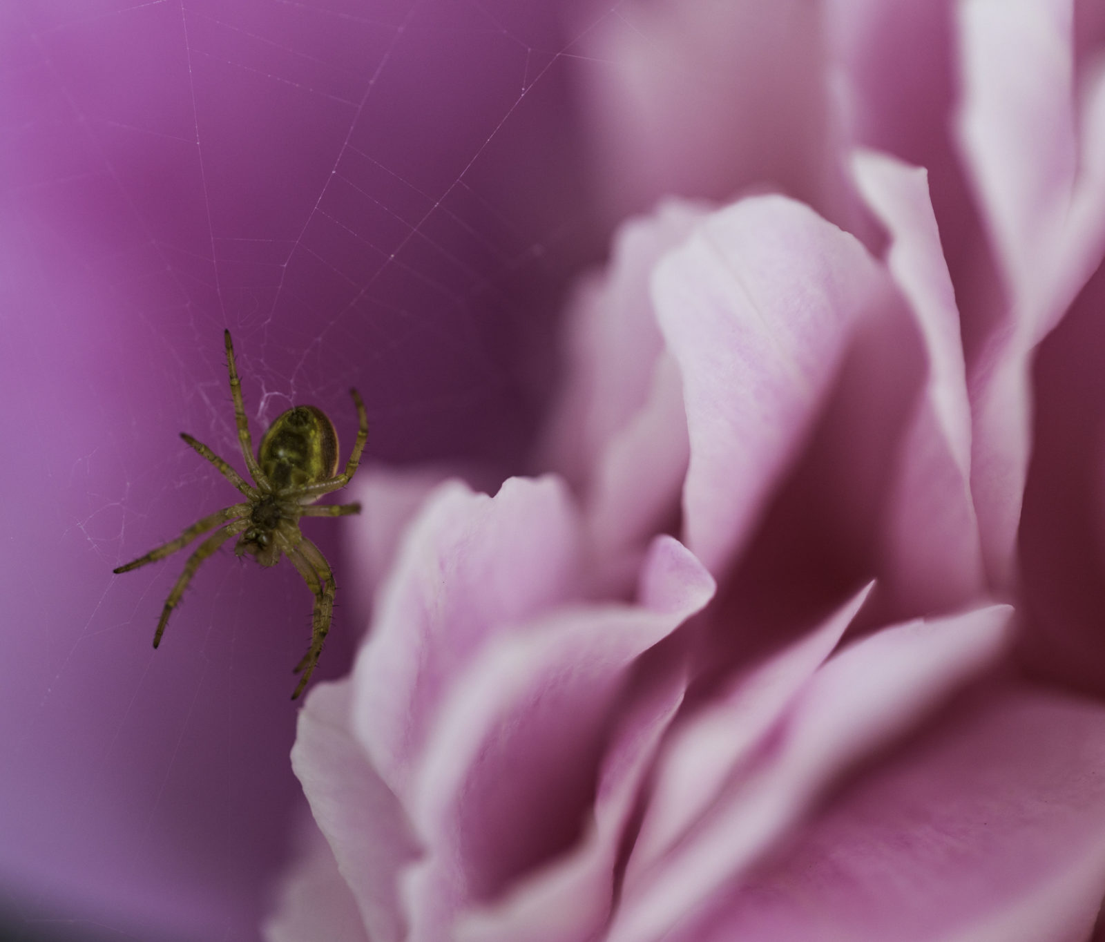 The Spider and the Peony