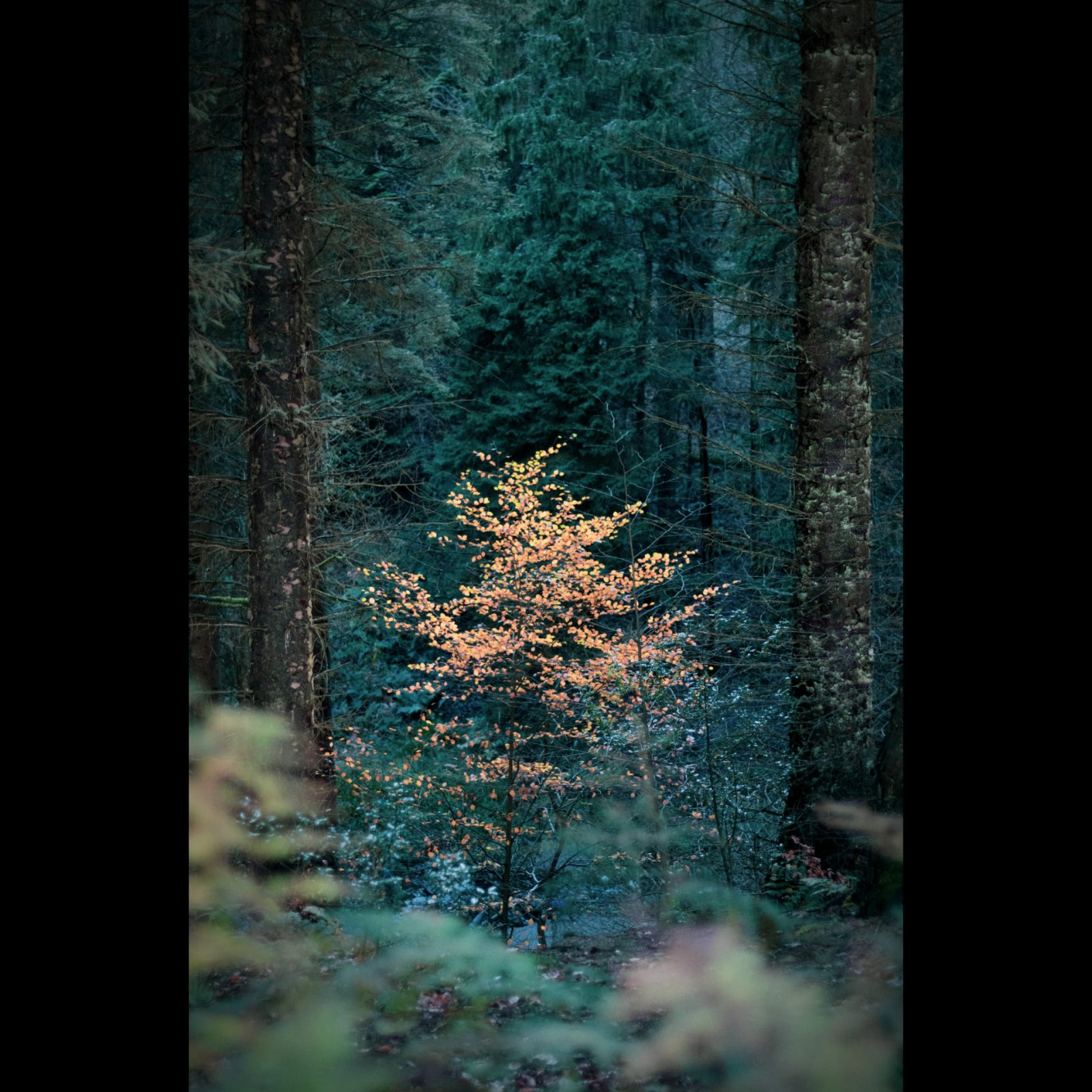 Autumn colour,  Blairadam Forest, Scotland