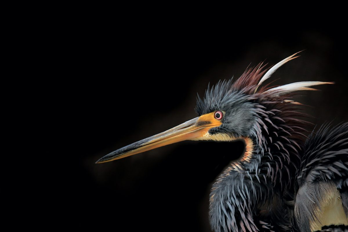 Tri-colored Heron Plumage