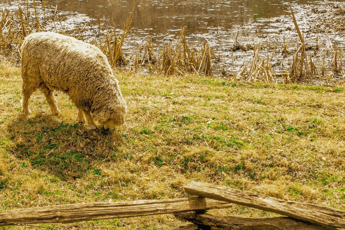 Sheep in the medows