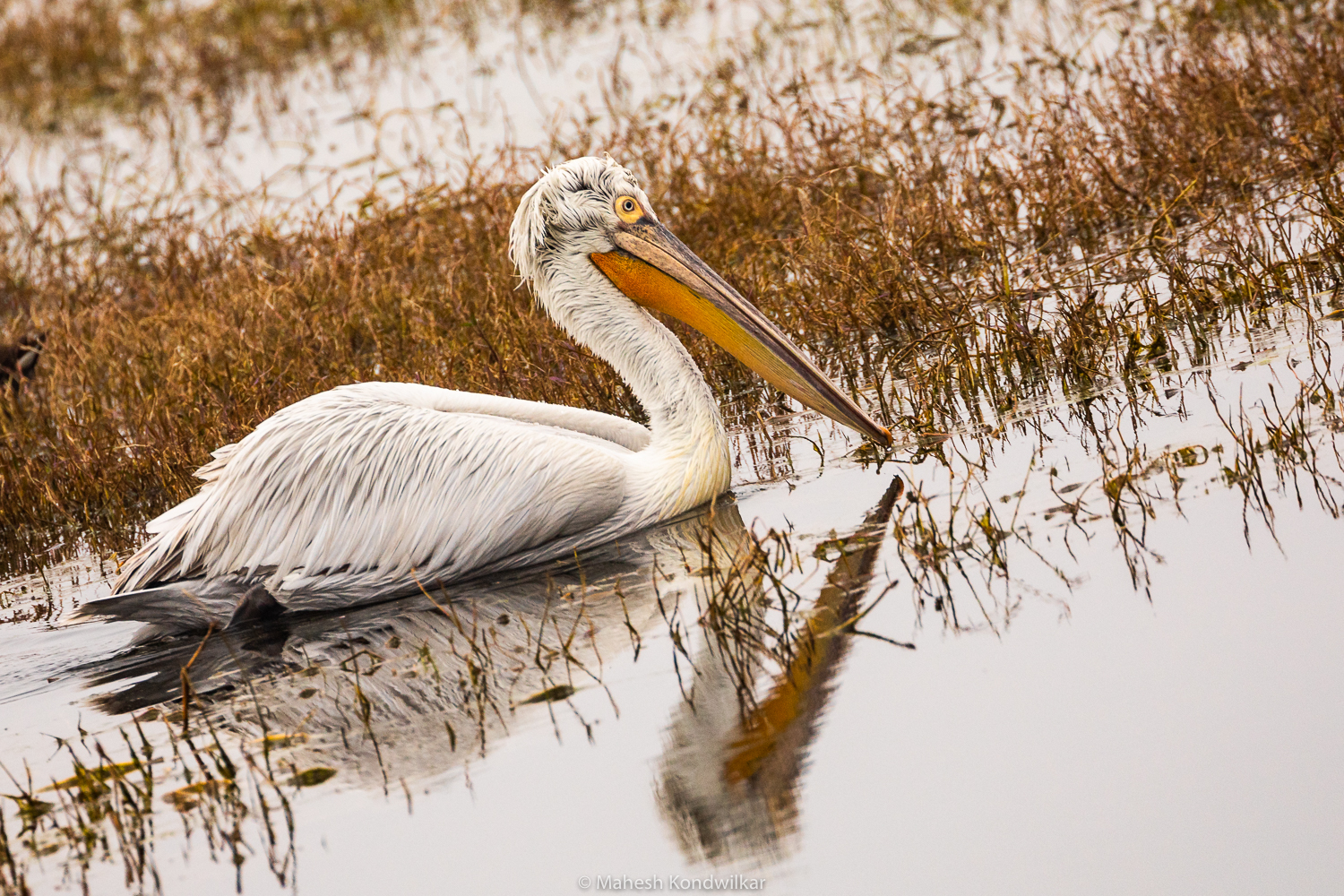 """Great White Pelican"" by lensicalmoments"