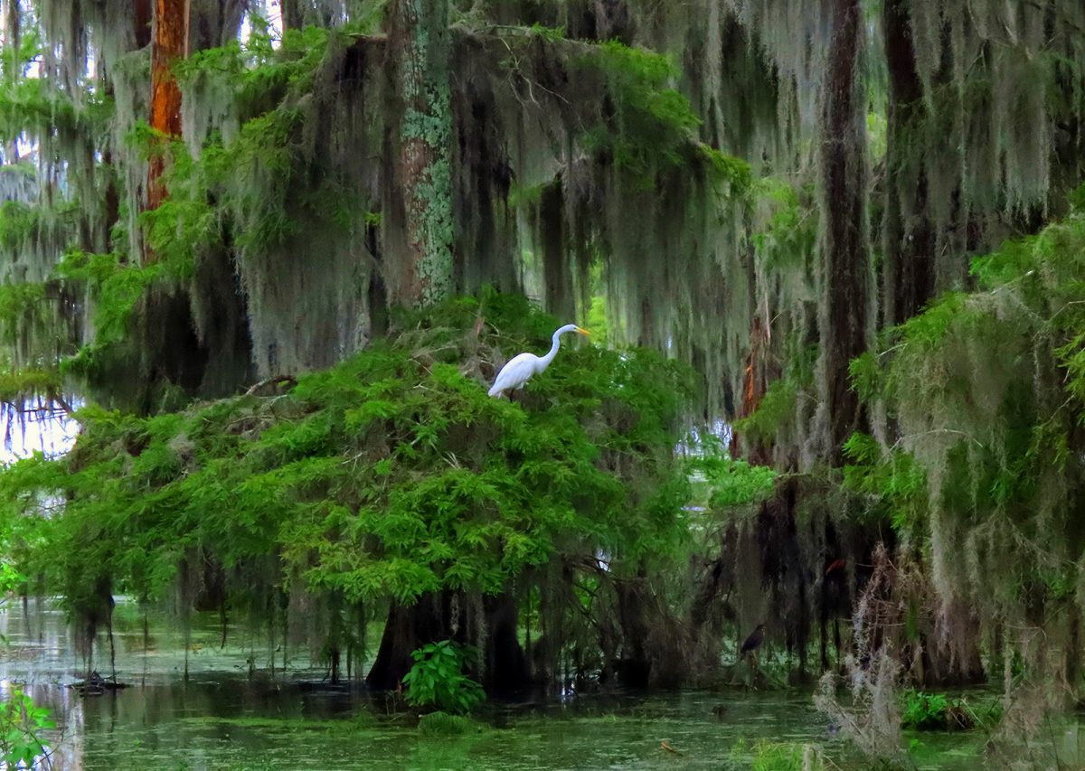 Great White Egret, Cypress Trees & Spanish Moss
