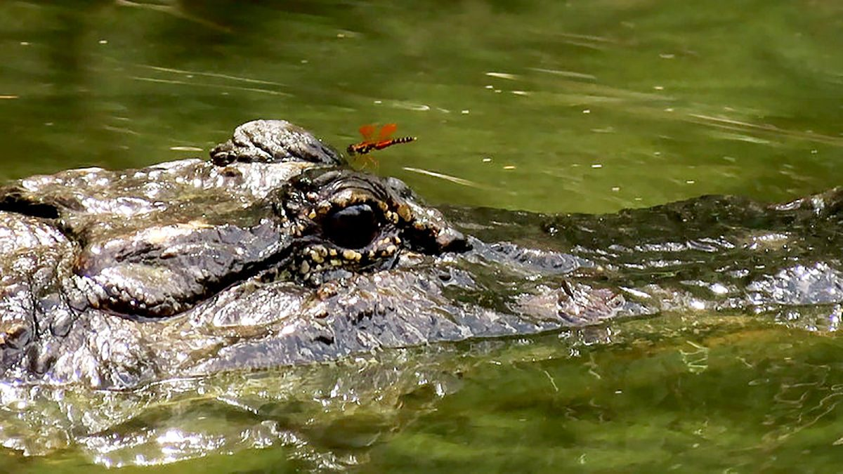Dragonfly Hitching a Ride on Alligator's Eye