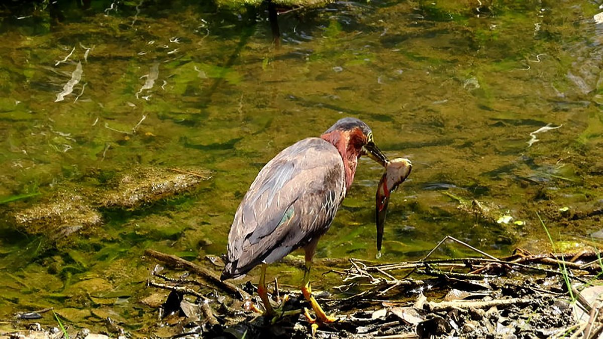 Green Heron with a Catfish