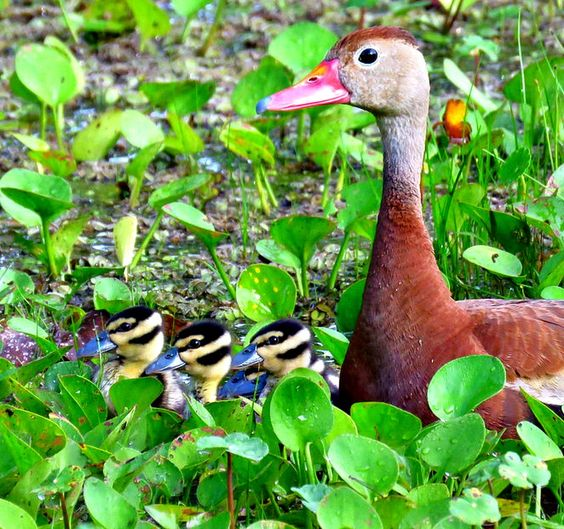 Black-Bellied Whistling Duck & Three Babies