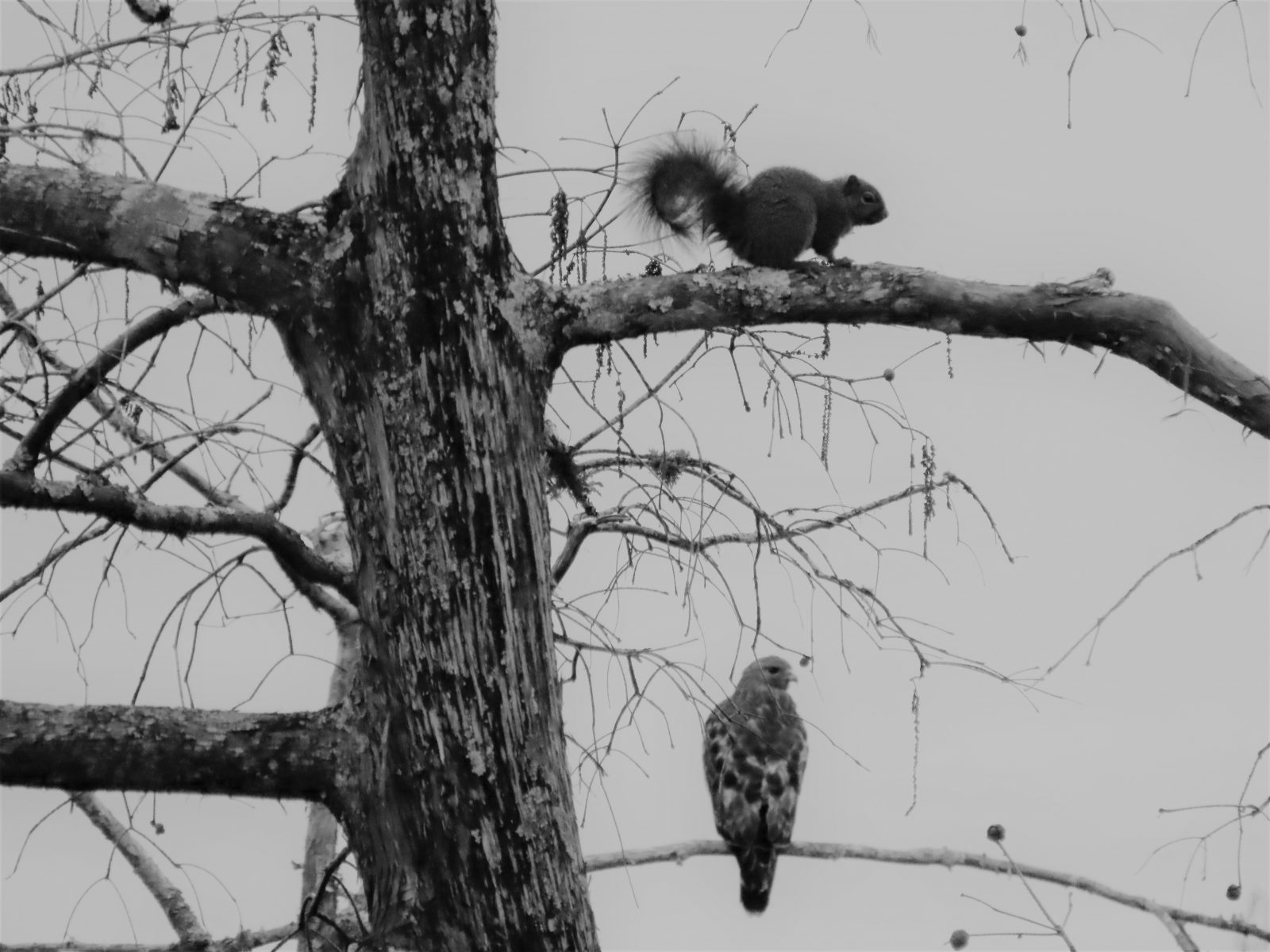 Squirrel & Red-Shouldered Hawk