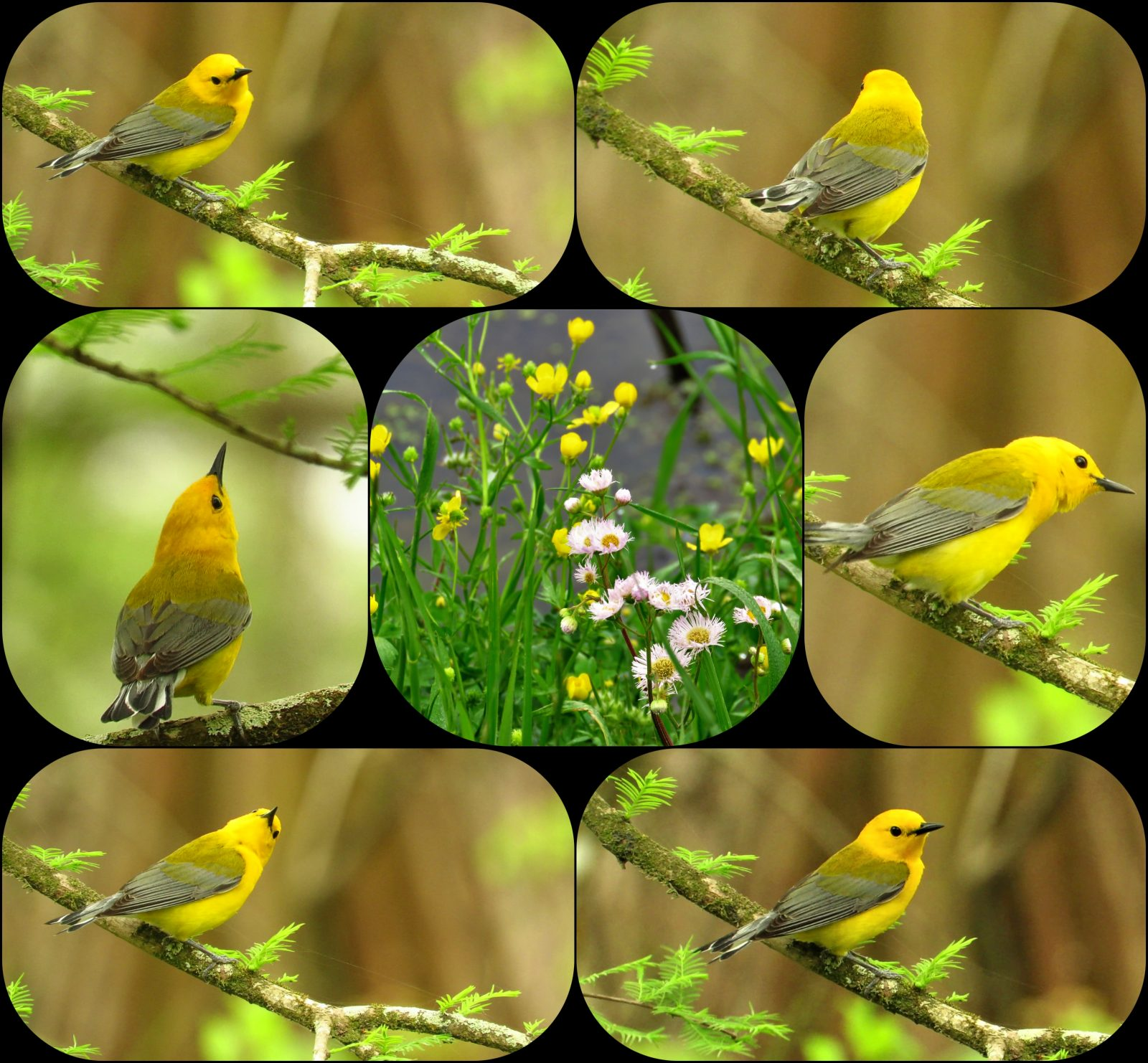 Prothonotary Warbler Collage