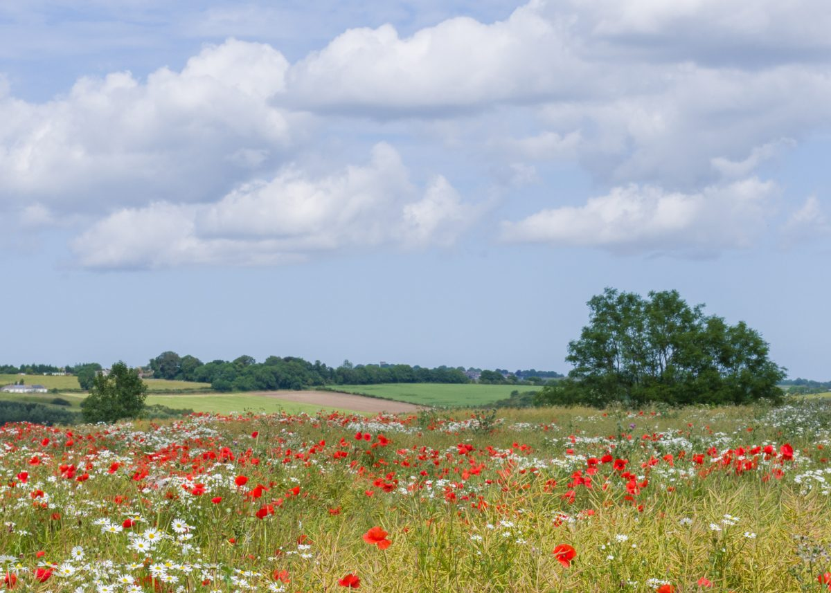 Summer-fields with Poppies and Daisies.